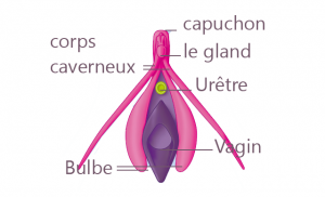 clitoris au repos